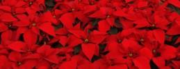 Turrones y Mazapanes - Planta de Navidad